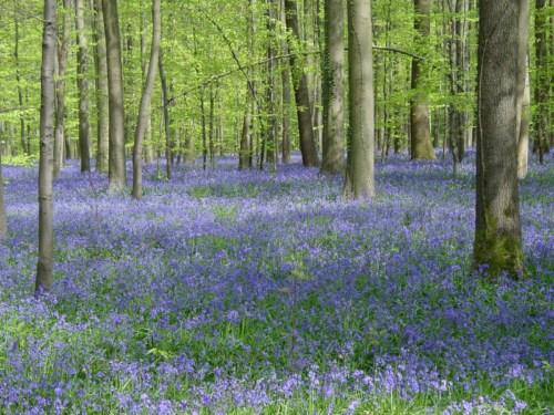 El Bosque de Hal, un tesoro azul en Bélgica